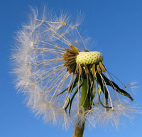 dandelion wishes.  Wikimedia Commons photo