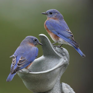 Bluebirds, photo by Dave Kinneer
